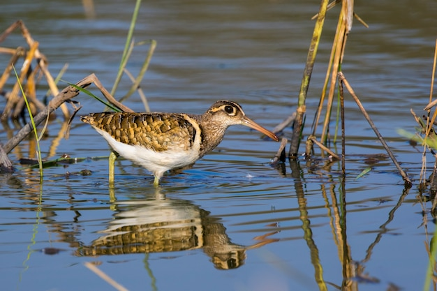 Image of birds are looking for food (greater painted-snipe; rostratula benghalensis) (male). wild animals.