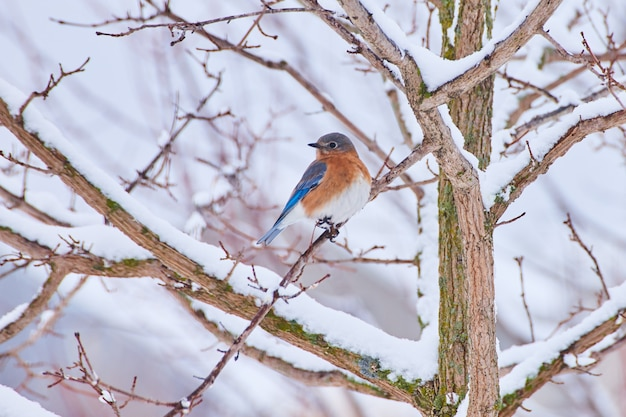 Image of bluebird resting on branch of tree covered in snow
