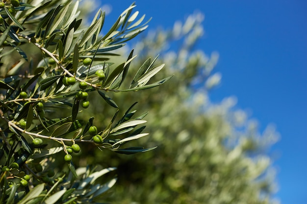 Image of a branch of an olive oil tree