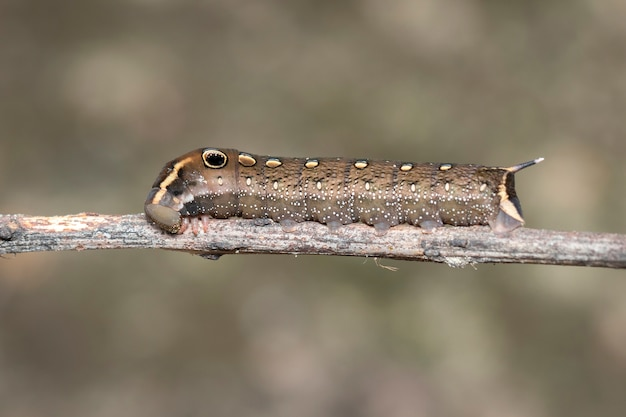 Image of brown caterpillar on branch. insect. brown worm.