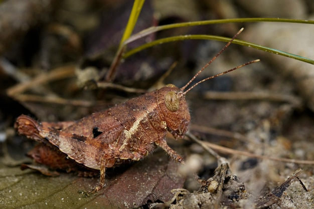 Image of a brown grasshopper (anasedulia maejophrae dawwrueng, storozhenko et asanok, 2015) on brown leaves. insect animal