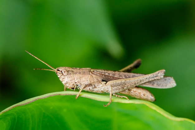 Image of brown grasshopper on green leaves. insect animal. locust (caelifera., acrididae)