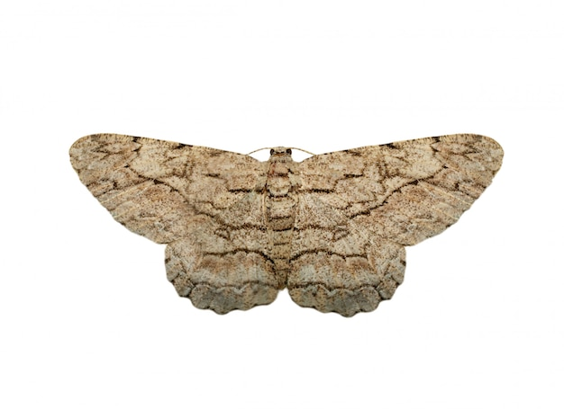 Image of brown moth (nannoarctia tripartita) isolated on white background