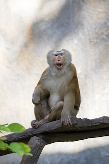 Image of a brown rhesus monkeys on nature.