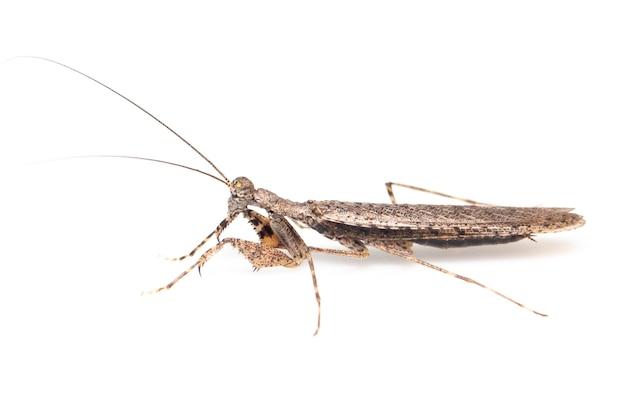 Image of camouflaged bark mantis on white background. insect. animal.