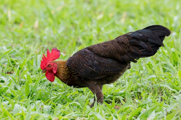 Image of a cock in green field.