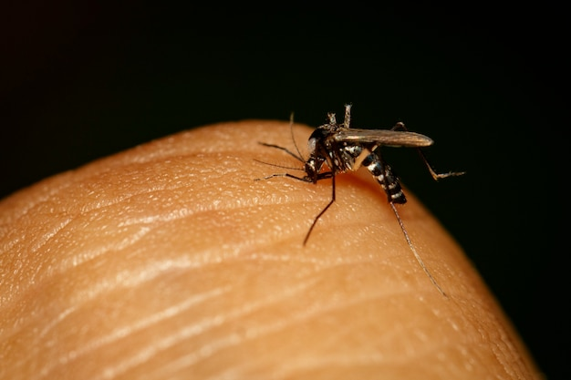 Image of common house mosquito sucking blood on human skin. insect,. animal.
