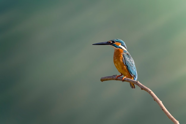 Image of common kingfisher on nature.