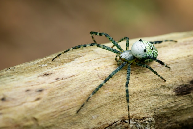 Image of cyrtophora moluccensis spider(male)(doleschall, 1857., tent spider) on the timber. insect animal