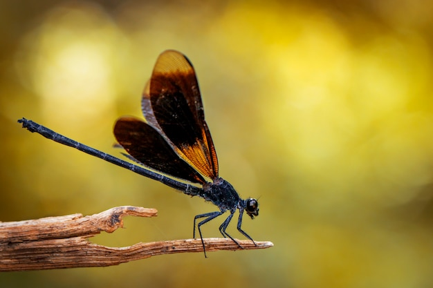 Image of euphaea masoni dragonfly on dry branches on nature background. insect animal