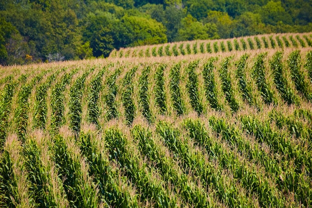 Image of farming rows of corn fields over hills