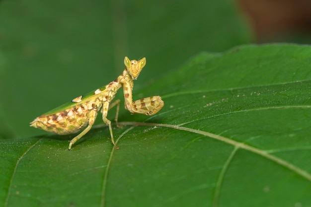 Image of flower mantis on green leaves. insect,