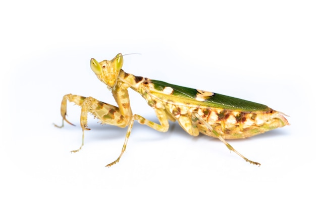 Image of flower mantis on white background. insect. animal.