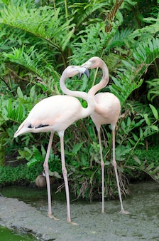 Image of four flamingos in the water