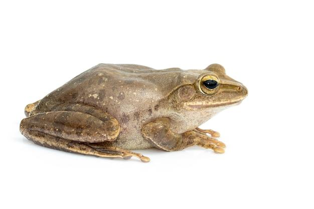 Image of frog, polypedates leucomystax,polypedates maculatus.  amphibian. animal.