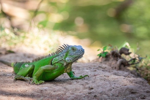 Image of green iguana morph on a natural background. animal. reptiles