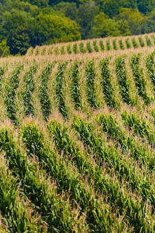 Image of hills covered in rows of corn for farming