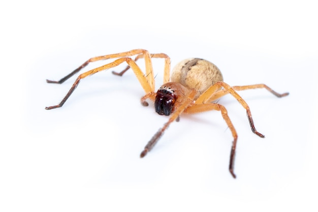 Image of huntsman spider is a family of sparassidae on white background. insect. animal.