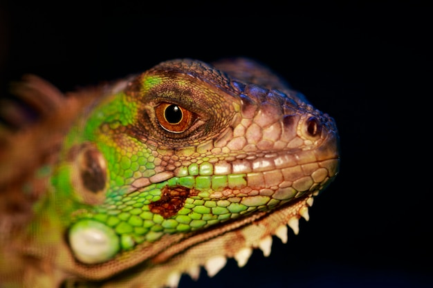 Image of an iguana head on nature. reptile. animals.