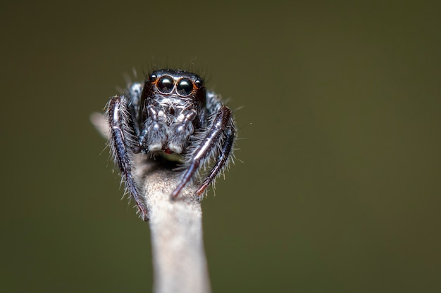 Image of jumping spiders (salticidae) on a branch., insect.