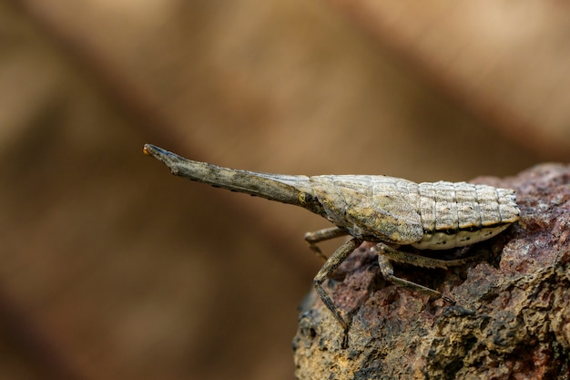 Image of lantern bug or zanna nobilis nymph on the branches . insect animal.