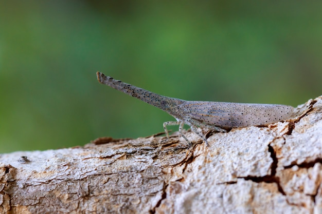 Image of lantern bug or zanna sp on tree. insect. animal