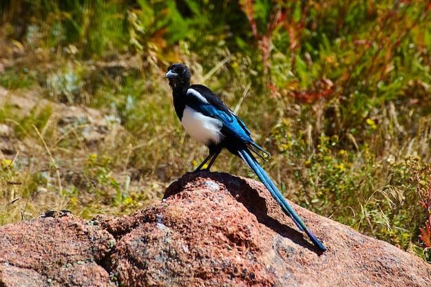 Image of lone blue, black, and white bird on desert rock