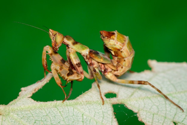 Image of mantis standing on green leaf on nature background. insect. animal.