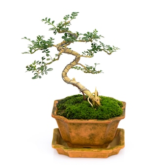 Image of mini bonsai in the pot tree on white