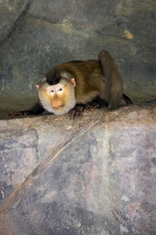 Image of monkey (pig-tailed macaque). wild animals.