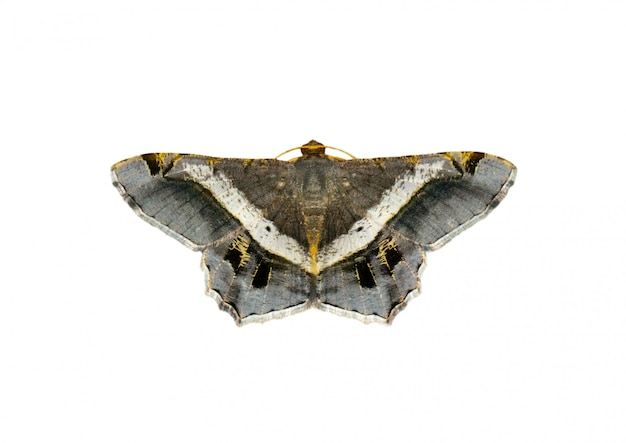 Image of moth or butterfly (semiothisa eleonora) isolated on white background