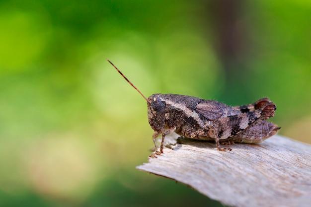 茶色のバッタ(アシダカ科)の画像。昆虫。動物