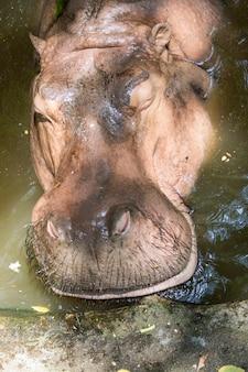 水上のカバの画像。野生動物。
