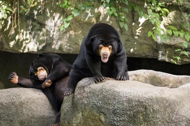 Изображение малайского солнечного медведя расслабляется на скалах. дикие животные.