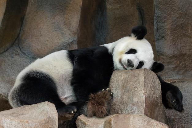 판다의 이미지가 바위 위에서 자고 있습니다. 야생 동물.