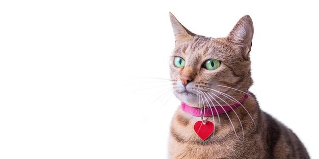 Изображение чистокровной бенгальской кошки в розовом ошейнике с медальоном. концепция заботы и любви к домашним животным. смешанная техника