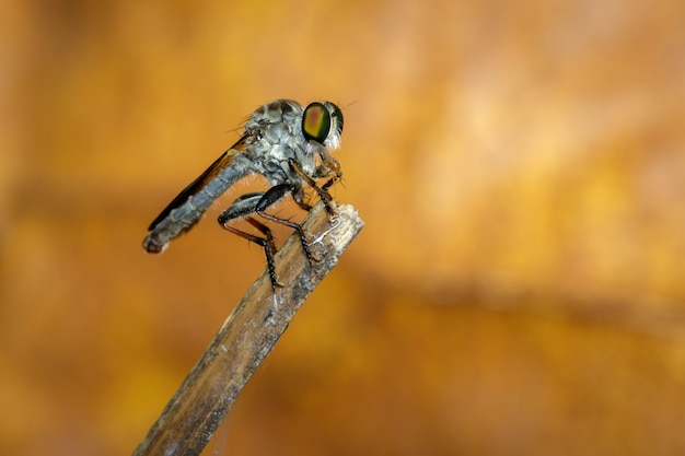 분기에 강도 fly (asilidae)의 이미지. 곤충. 동물