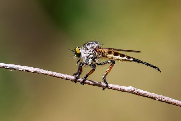 자연에 지점에 강도 fly (asilidae)의 이미지. 곤충. 동물.