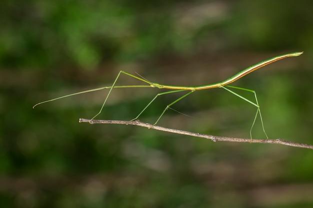 Изображение сиамского гигантского палочного насекомого на ветке. насекомое.