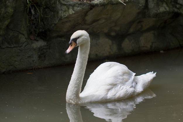 물에 하얀 백조의 이미지입니다. 야생 동물.