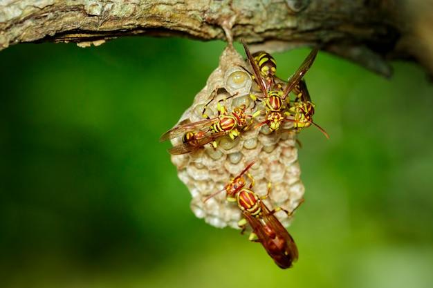 Изображение осы апачей (polistes apachus) и гнезда осы на природе. насекомое. животное
