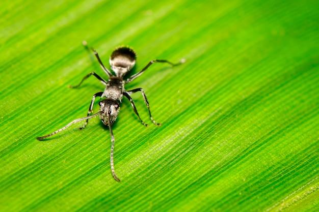 Изображение муравья (polyrhachis dives) на зеленом листе. насекомое. животное.