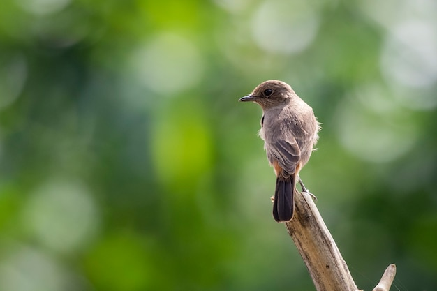 Изображение азиатской бурой мухоловки (muscicapa dauurica) на ветке на фоне природы. птица. животные.