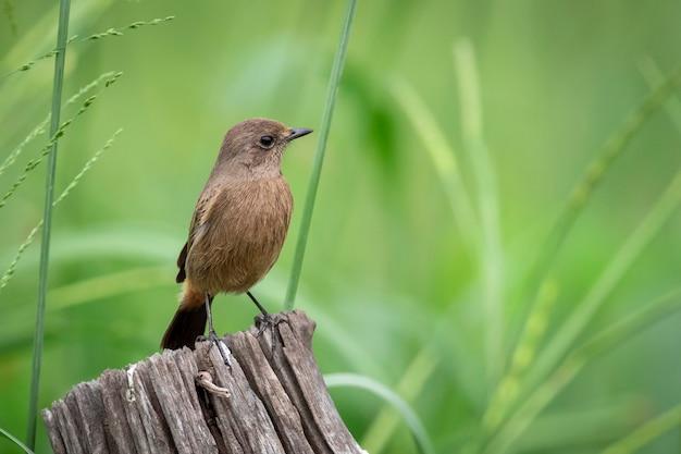 Изображение азиатской бурой мухоловки (muscicapa dauurica) на пне на фоне природы. птица. животные.