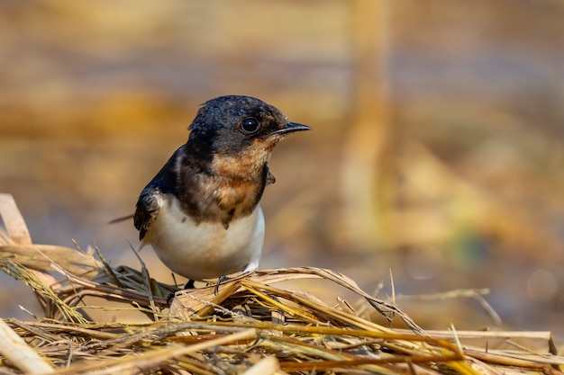 Изображение птицы ласточки амбара (rustica hirundo) на естественном. птица. animal.