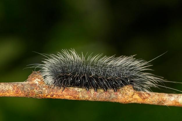 나뭇가지에 흰 머리카락이 있는 검은 애벌레(eupterote tetacea)의 이미지. 곤충,. 동물.