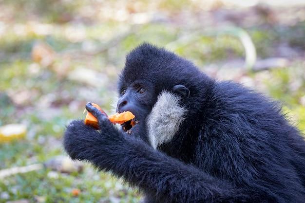 자연 배경에서 음식을 먹는 검은 긴팔원숭이(흰색 뺨 긴팔원숭이)의 이미지. 야생 동물.