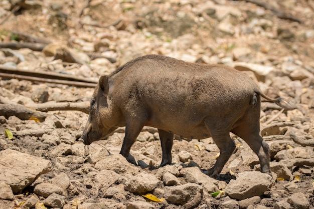 자연 배경에 멧돼지의 이미지입니다. 야생 동물.