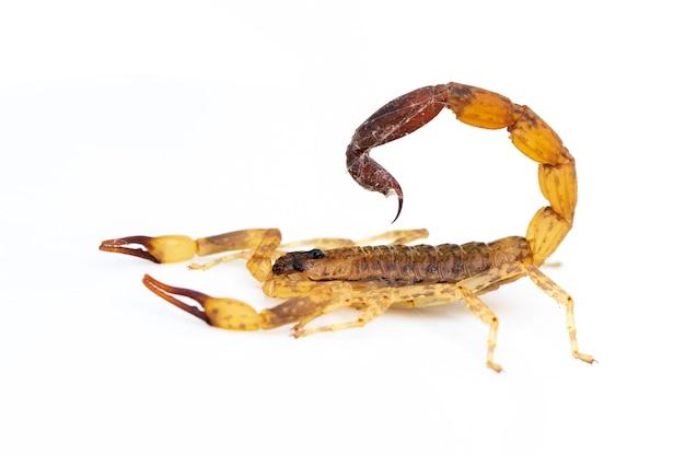 Изображение коричневого скорпиона изолированное на белой предпосылке. насекомое. animal.