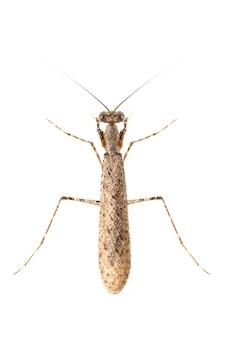 흰색 바탕에 위장된 껍질 사마귀의 이미지입니다. 곤충. 동물.